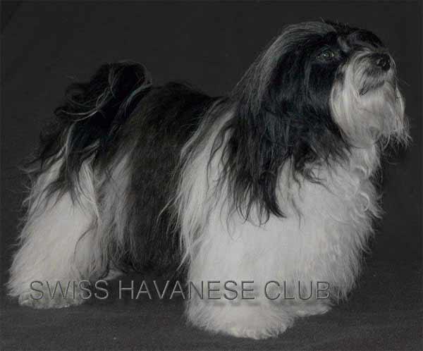 Havaneser Standard Havaneser Von Kronenberg