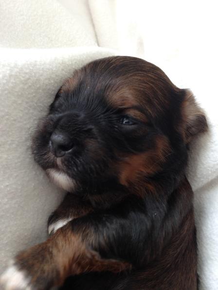 Havaneser Von Kronenberg Havaneserzucht Dog Breeder In Lupsingen